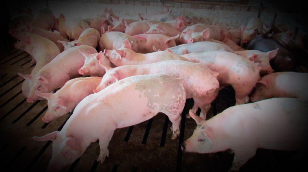 Aumentó el robo de lechones y corderos por las fiestas