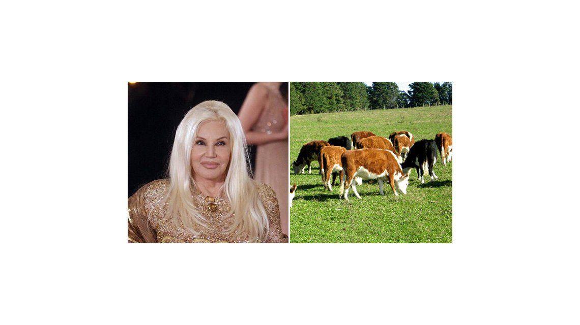 Susana envuelta en un conflicto de vacas: quería lecheras pero le mandaron otras
