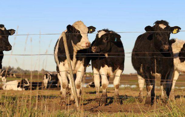 Las vacas, antes de ir al matadero. Foto: malenablanco.com<br>