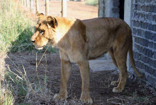 <p>Zuca en el santuario, donde ya están el león Melena y la tigresa Tuna. <br></p>