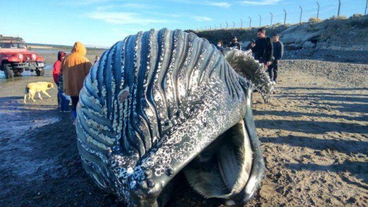 Comodoro Rivadavia: se metieron adentro de una ballena muerta en la costa